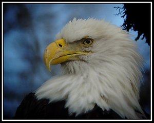 skagit_bald_eagle_v1