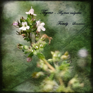 Thyme___Thymus_vulgaris__by_Inadesign